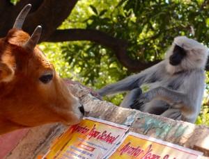 Kühe und Affen sind immer nah dabei