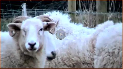 Video: Schafe - ein leicht zu begeisterndes Publikum